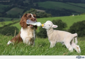 Dog-Nursing-Lamb